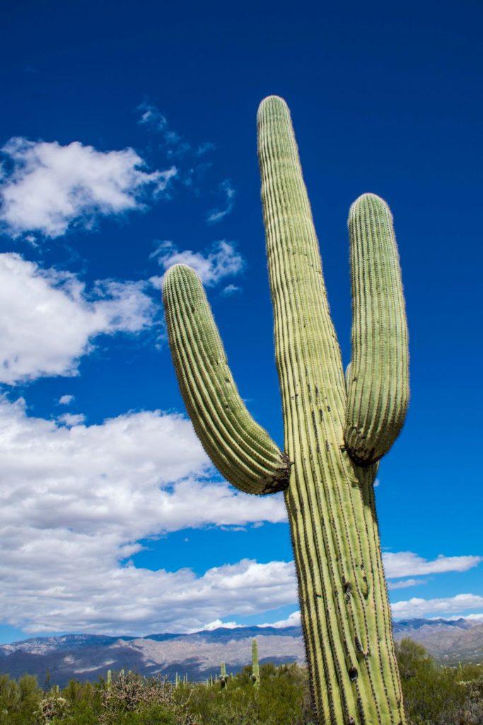 Parkseekers Saguaro Cactus